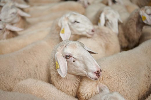 Ovce na Strelovcu 2019 164