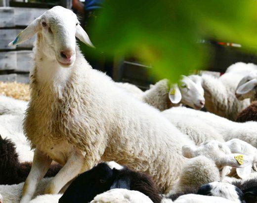 ovce-5c
