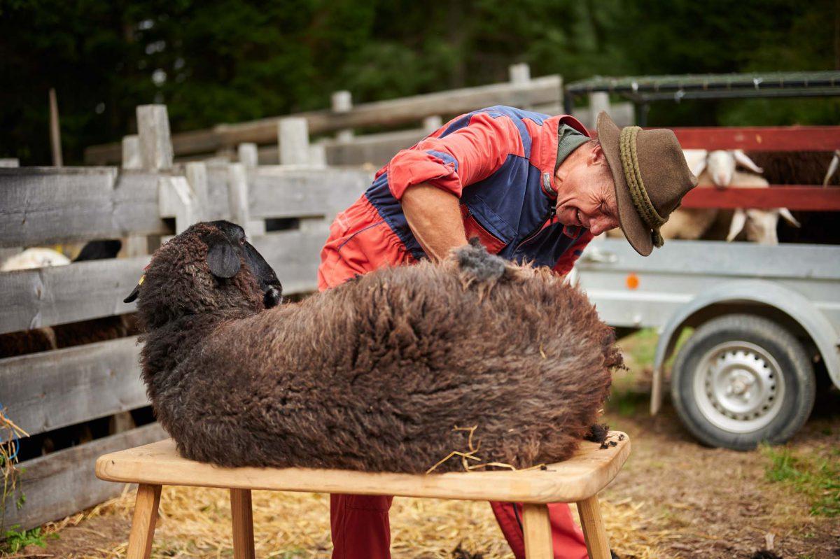 ovce-jezersko-1