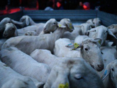 Prigon ovc s planine v Robanov kot, striža ovc za volno, Kmetija Knez v Robanovem kotu Foto: Tamino Petelinšek tamino7@gmail.com 19. 9. 2020
